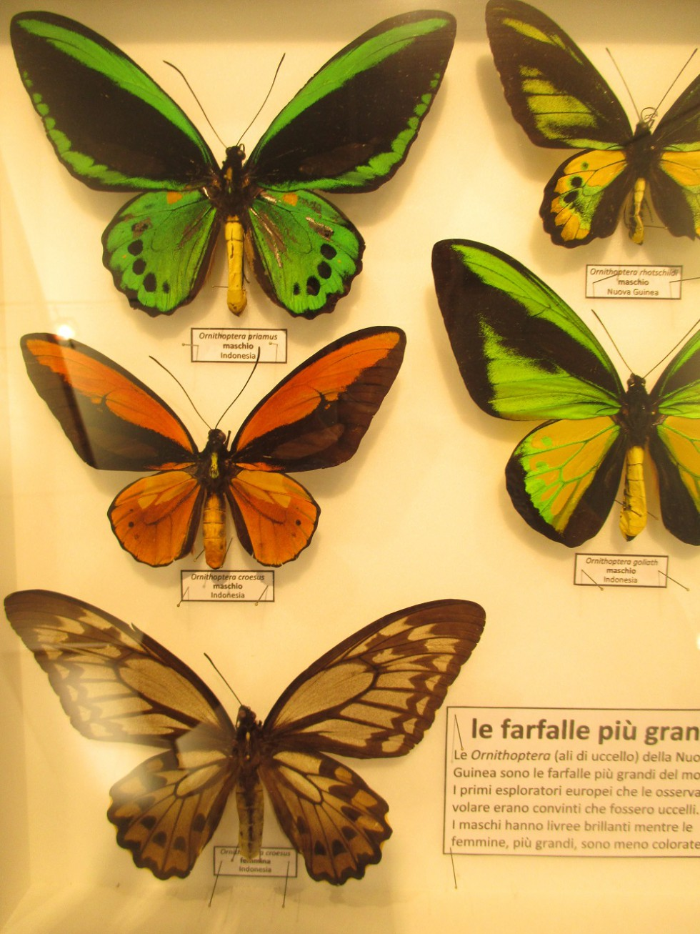 farfalle-colorate