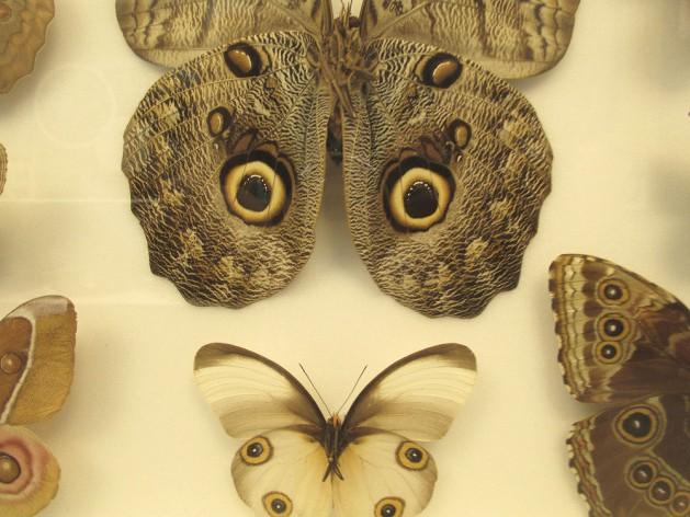 farfalla-con-finti-occhi