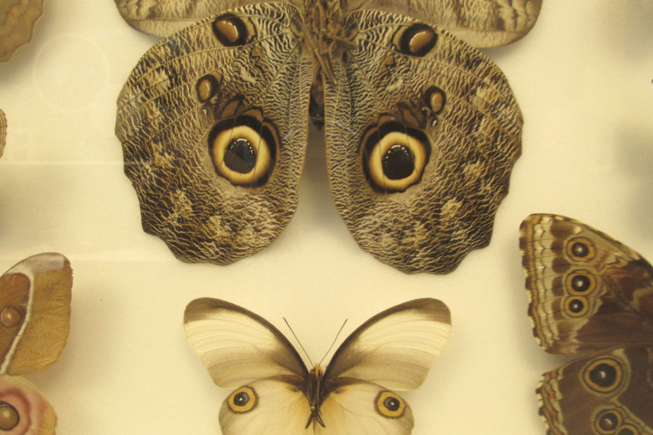 farfalla con finti occhi